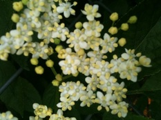 elderflowers detail