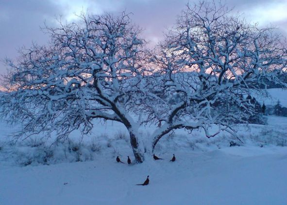 snow, pheasants, evening light