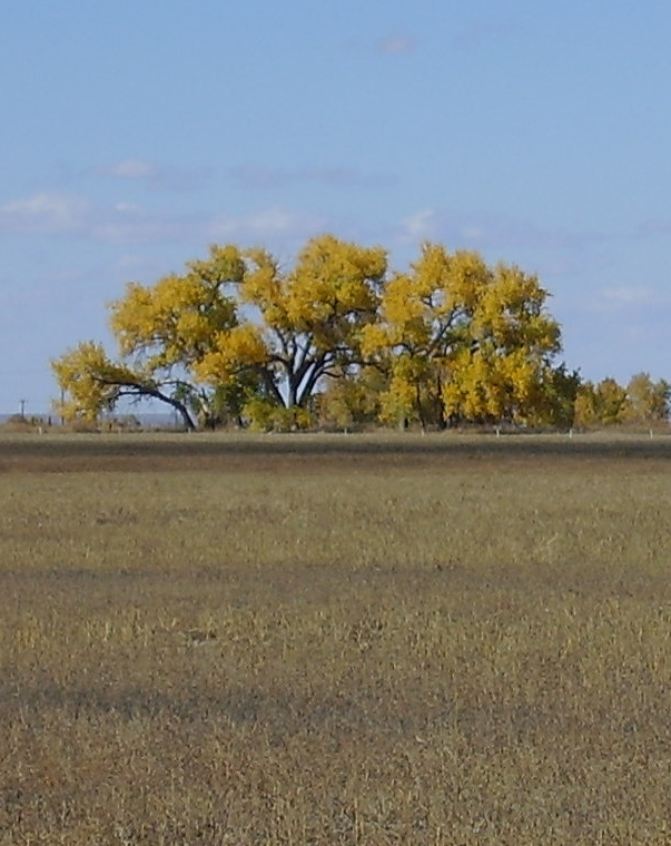 sacred cottonwood trees